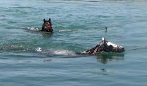 Sıcaktan bunalan atlarını Fırat'ta serinlettiler