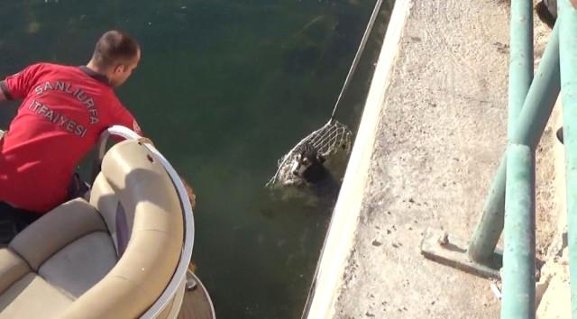 Fırat Nehri'ne Düşen 2 Köpek İtfaiye Tarafından Tekneyle Kurtarıldı