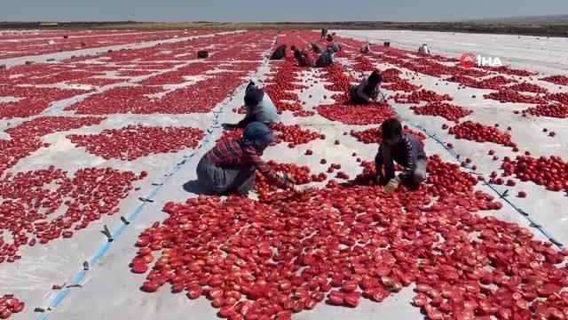 Yerli domatesler kurutularak yurt dışına ihraç ediliyor