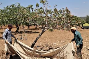 Baklavada kullanılan boz fıstık hasadı başladı
