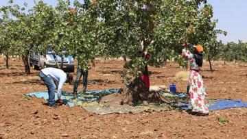 Geçen yıl tarlada 18 lira olan fıstığın kilosu 120 liraya satıldı!